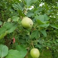 6月下旬のりんご