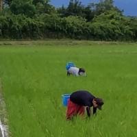 自然栽培 除草