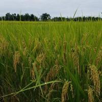 2019 9月 自然栽培稲