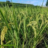 自然栽培の薄井農園・米