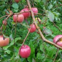 11010 葉とりりんご